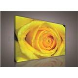 Obraz na plátně žlutá růže 75 x 100 cm