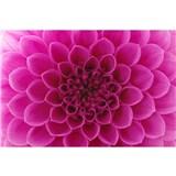 Vliesové fototapety růžové dahli rozměr 375 cm x 250 cm