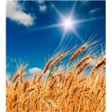 Vliesové fototapety pšeničné pole rozměr 225 cm x 250 cm