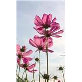 Vliesové fototapety kosmos květy rozměr 150 cm x 250 cm