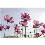 Vliesové fototapety kosmos květy rozměr 375 cm x 250 cm