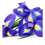 Vliesové fototapety iris rozměr 225 cm x 250 cm