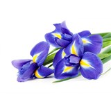 Vliesové fototapety iris rozměr 375 cm x 250 cm