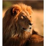 Vliesové fototapety lev rozměr 225 cm x 250 cm