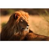 Vliesové fototapety lev rozměr 375 cm x 250 cm