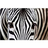 Vliesové fototapety zebra rozměr 375 cm x 250 cm