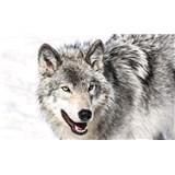 Vliesové fototapety vlk rozměr 104 cm x 70,5 cm