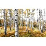 Vliesové fototapety Hefele březový les, rozměr 450 cm x 280 cm