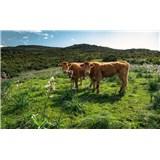 Vliesové fototapety Hefele krávy na pastvě, rozměr 450 cm x 280 cm