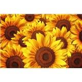Vliesové fototapety květy slunečnic rozměr 375 cm x 250 cm