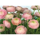 Fototapety Gentle Rosé rozměr 368 cm x 254 cm