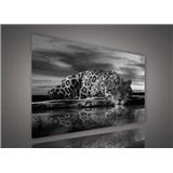 Obraz na plátně jaguár černobílý 100 x 75 cm