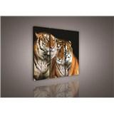 Obraz na plátně tygři 90 x 80 cm