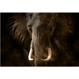 Vliesové fototapety slon rozměr 368 cm x 254 cm