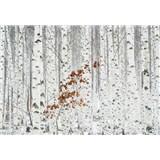 Fototapety březový les rozměr 368 cm x 254 cm