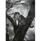 Fototapety leopard na stromě rozměr 184 cm x 254 cm