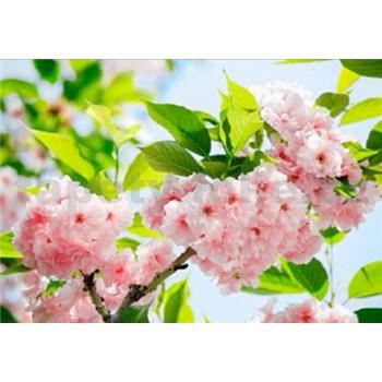 Fototapety Sakura Blossom rozměr 366 cm x 254 cm