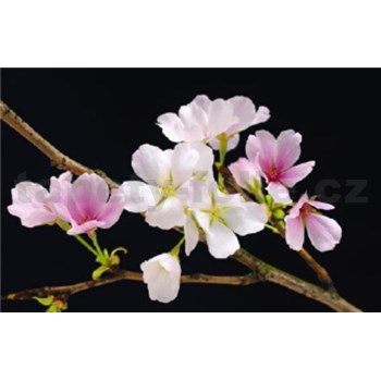 Fototapety Cherry Blossoms rozměr 175 cm x 115 cm