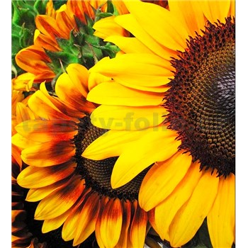 Vliesové fototapety slunečnice rozměr 225 cm x 250 cm