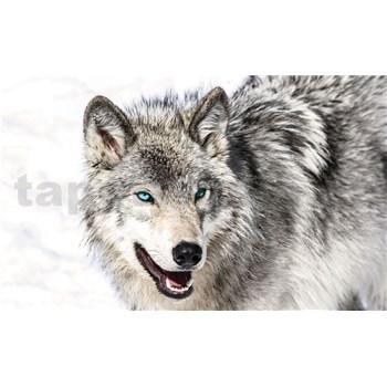 Vliesové fototapety vlk s modrýma očima rozměr 312 cm x 219 cm