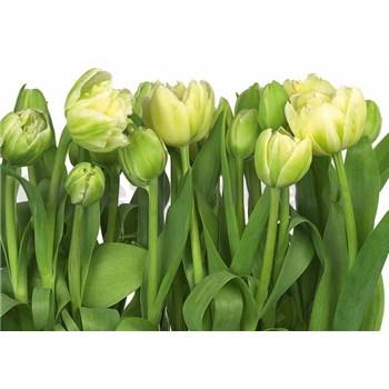 Fototapety tulipány rozměr 368 cm x 254 cm