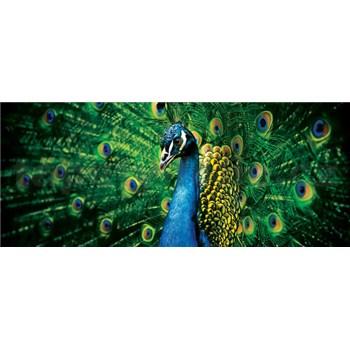 Vliesové fototapety páv rozměr 250 cm x 104 cm