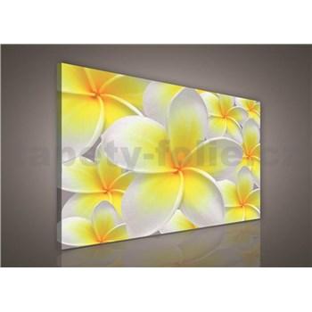 Obraz na plátně žluté květy Plumeria 75 x 100 cm