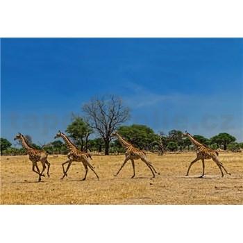 Vliesové fototapety běžící žirafy rozměr 368 x 254 cm