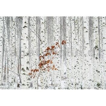 Vliesové fototapety březový les rozměr 368 cm cm x 254 cm