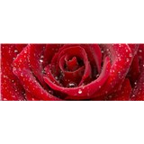 Vliesové fototapety červená růže rozměr 375 cm x 150 cm