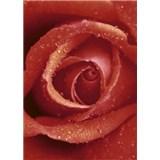 Fototapety růže rozměr 183 cm x 254 cm