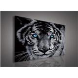 Obraz na plátně tygr tyrkysové oči 75 x 100 cm