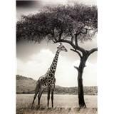 Fototapety žirafa rozměr 184 cm x 254 cm