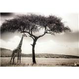 Fototapety žirafa rozměr 368 cm x 254 cm