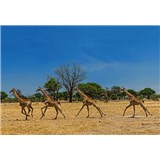 Fototapety běžící žirafy rozměr 368 cm x 254 cm