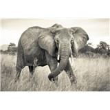 Vliesové fototapety slon rozměr 368 cm x 248 cm