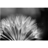Fototapety pampeliška černo-bílá rozměr 368 cm x 254 cm