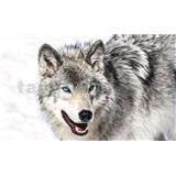 Vliesové fototapety vlk s modrýma očima rozměr 416 cm x 254 cm