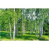 Vliesové fototapety březový les rozměr 375 cm x 250 cm