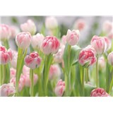 Fototapety růžové tulipány