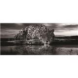 Vliesové fototapety jaguár černobílý rozměr 250 cm x 104 cm