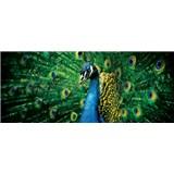 Vliesové fototapety páv