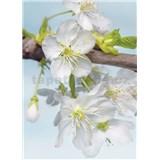 Vliesové fototapety květy třešní rozměr 184 cm x 248 cm