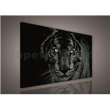 Obraz na plátně tygr zelené oči 75 x 100 cm