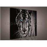 Obraz na plátně tygr tyrkysové oči 90 x 80 cm