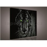 Obraz na plátně tygr zelené oči 90 x 80 cm