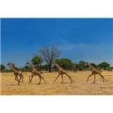 Vliesové fototapety běžící žirafy rozměr 368 cm x 254 cm