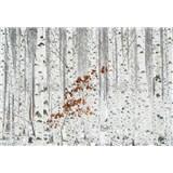 Vliesové fototapety březový les rozměr 368 cm x 254 cm